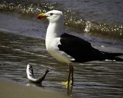 Kelp gull eating series #3, Tinderbox Marine Nature Reserve (kris.mccracken) Tags: birds animals gulls tasmania atthebeach krismccracken tinderboxmarinenaturereserve