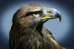 golden eagle2 (AGB Photography) Tags: birds golden eagle prey