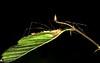 Nascosto... (Riccardo Orti) Tags: natura foglia arachnida carso opiliones zampe sigma105mmmacro aracnidi naturalistic opilionidi mygearandme pentaxk5ii {vision}:{sky}=0584 {vision}:{outdoor}=0954 {vision}:{dark}=0834