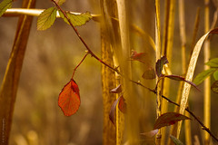 Winter Reeds and Vine (Diana Philpot) Tags: winter vine grasses thorns