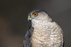 Sharp-shinned Hawk (Diane G. Zooms--- On/Off) Tags: nature birds ngc npc birdsofprey sharpshinnedhawk hawks naturephotography birdphotography coth sweetfreedom specanimal avianexcellence coth5 sunrays5