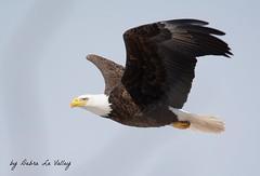 048 (dlv1) Tags: male bird beautiful nikon eagle baldeagle bald large newhampshire raptor huge regal birdofprey banded penacook d7100 sigma150500mm orangea4