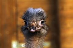 Emil. (eulenbilder) Tags: unterwegs emil nandu köpfe vorderrhön