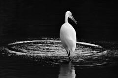 Gone Fishing (NaturalLight) Tags: blackandwhite bw fishing kansas wichita egret greategret chisholmcreekpark