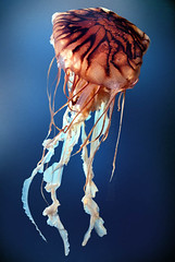Sea Nettle (Chrysaora fuscescens) (Vern Krutein) Tags: water animal jellies jellyfish sealife species carnivorous animalia invertebrate carnivores cnidaria cnidarians scyphozoa westcoastseanettle semaeostomeae mnemiopsis pacificseanettle pelagiidae seanettlechrysaorafuscescens aajv01p1206