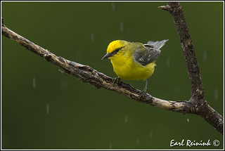 Blue-winged Warbler in the rain