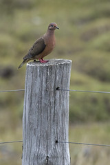 Eared Dove (Zenaida auriculata) 3 012817 (evimeyer) Tags: eareddove zenaidaauriculata torresdelpaine chile