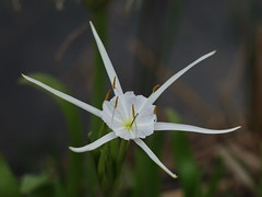 Spider Lily (bamboosage) Tags: helios 402 1585 preser m42 russia