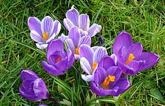 Crocuses (Caulker) Tags: canonspark crocuses spring 09032017