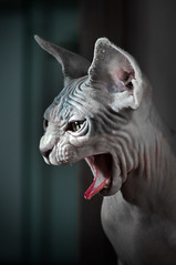 peetu1-1 (Uniquva) Tags: sphynx wrinkles tongue close up