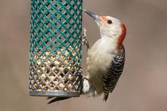 Red-Bellied Woodpecker 3-11-2017-1 (Scott Alan McClurg) Tags: aves dendropicini flickr mcarolinus melanerpes neoaves neognathae neornithes pici picidae piciformes picinae animal autumn back backyard bird bokeh fall feed feeder feeding life nature naturephotography neighborhood perch perching smallbirds suburbs wild wildlife yard