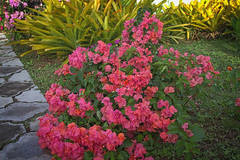 Bougainvillea (ronmcmanus1) Tags: antigua 4star flowers landscape nature outdoors sunsetsunrise caribbean