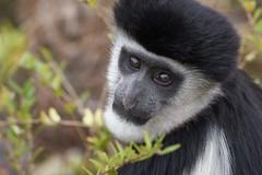 Mannequin professionnel (rondoudou87) Tags: monkey singe pentax k1 parc zoo reynou nature natur wildlife wild portrait regard eyes