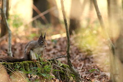 IMG_2100 (marianabmcruz) Tags: parquebiológicodegaia parquebiológico biologicalpark outdoors outdoor nature natureza animal animals fauna esquilo squirrel squirrels