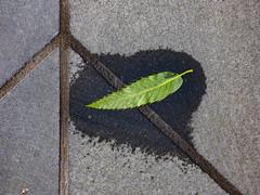 Peace on Earth (Steve Taylor (Photography)) Tags: peace leaf wet symbol brown green grey closeup tile newzealand nz southisland canterbury christchurch cbd city diagonal lines texture damp