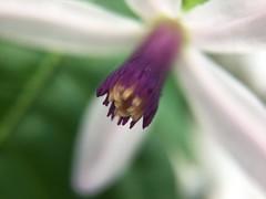 Melia azaderach 'Florabunda' (scott.zona) Tags: meliaceae