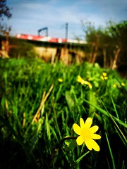 Build Me Up Buttercup (sjpowermac) Tags: burstmode buttercup ficariaverna ouse class91 river york grass speeds april spring journey electriclocomotive buildmeupbuttercup nestled flowers yellow 100mph skelton 1s19