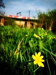 Build Me Up Buttercup (sjpowermac) Tags: burstmode buttercup ficariaverna ouse class91 river york grass speeds april spring journey electriclocomotive buildmeupbuttercup nestled flowers yellow 100mph skelton 1s19