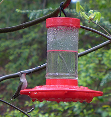 Ruby-throated Hummingbird (Archilochus colubris) female (Tiggrx) Tags: bird female hummingbird tennessee feeder shadygrove rubythroatedhummingbird seviercounty archilochuscolubris