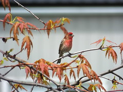 Purple Finch (RonG58) Tags: purplefinch lewiston finch americanrosefinches haemorhouspurpureus bird birds loiseau elpjaro tori dervogel birding birdwalk fauna flora habitat migration natureexploration wildlife passerines maine rong58 usa images spring pictures photooftheday day image color film photography travel photo photos us light trip fugifilm picture digitalcamera picoftheday finepixhs50exr photograph exploration new live raw geotagged nature
