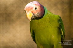 green Parrots (Anahita Hashmani) Tags: bird colors animals photography zoo colorful dubai photographer wildlife uae feathers parrot breeding parrots dubaizoo femalephotographer anahitahashmani