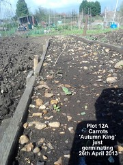 Plot 12A - Carrots 'Autumn King' just germinating 26-04-2013 (Davy1000) Tags: carrots leeks broadbeans onionsets earlypotatoes april2013 plot12a lettucelittlegem halfbed beetrootchioggia potatoesrocket