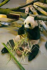 Cute panda eating (Sacha 2D) Tags: leica toronto ontario canada animals zoo panda pandas torontozoo leicam8 leicaelmarm50mmf28 lensblr photographersontumblr