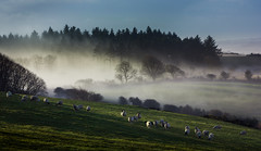 Here's looking at ewe (snowyturner) Tags: morning trees mist landscape sheep pastoral dartmoor grazing yelverton ewe dousland
