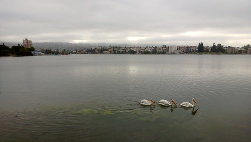 White Pelicans on Lake Merritt