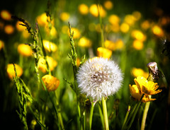 Dandelion and Buttercups (asheers) Tags: flower macro buttercup slide dandelion wildflower hss