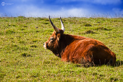 Mountain Cow / Vaca Montaesa (Shawnito) Tags: naturaleza mountain nature grass cow cattle horns asturias olympus ganado e3 tradition montaa cuernos vaca hierba tradicional ganadera zd50200swd
