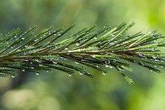 PINE WITH DEW DROPS fl 497 (My Little Sheba) Tags: nature review natureinmassachusetts newenglandnaure