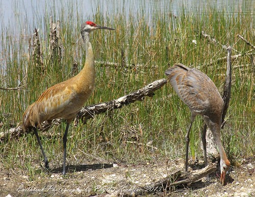 ANDROS ISLES VISITOR_SHARING A DAY WITH DAD_SANDHILL CRANES_IMG_3617