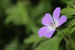 Five Petals (Joevimalraj) Tags: flowers wild summer mountain nature canon switzerland petals bush purple five swiss violet joe petal 1855mm naturelover sherbs 600d jvr flowerwatcher