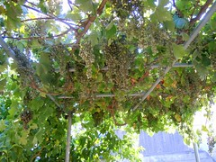 Grape Vine (RobW_) Tags: july vine greece friday grape zakynthos pergola tsilivi 2013 diaryphoto jul2013 mdpd2013 mdpd201307 12jul2013