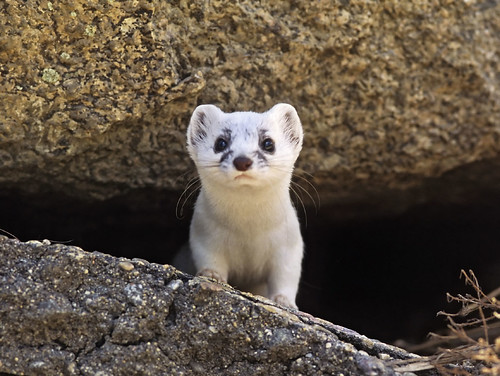 Photo - White pelage long-tailed weasel peeking out of a rock, Baseline picnic area.