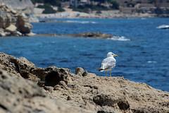 gavina vora mar (Ana Mar fotografia) Tags: ocean sea espaa bird beach valencia marina mar agua playa alicante ave gaviota pjaro gavina