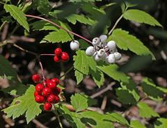 CAB018789a (jerryoldenettel) Tags: flower nm wildflower ranunculaceae chinaberry baneberry redbaneberry actaearubra actaea ranunculales dollseye eudicots 2013 santafeco