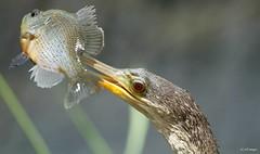 Bird (siddiquerayhan) Tags: fish bird pakhi anginga