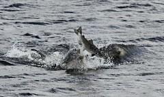 The Salmon Leaps (lizgould123) Tags: dolphin salmon morayfirth scotand bottlenosedolphin