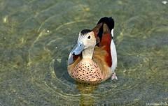 Sarcelle  collier (Diegojack) Tags: eau noir lac oiseaux canards sarcelle avianexcellence
