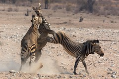 Two hundred and fifty two (Perry McKenna) Tags: africa playing nationalpark wildlife safari namibia kicking etosha zebras day252 flighting day252365 3652013 365the2013edition 09sep13