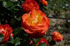 Flowers & Roses