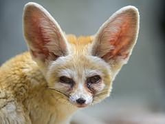 Portrait of a fennec (Tambako the Jaguar) Tags: portrait cute face germany zoo nikon desert ears fox bigears karlsruhe fennec d4 vision:food=0609