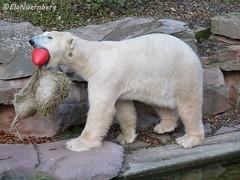 FelixBox 22 (ElaNuernberg) Tags: felix polarbear eisbr tiergartennrnberg nurembergzoo