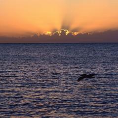 Pelican Skim (PelicanPete) Tags: world travel usa silhouette sunrise fun warm paradise unitedstates florida pelican tropical rays keywest atlanticocean exciting floridakeys southflorida monroecounty islandchain skimmingthewaves ninetymilesfromcuba