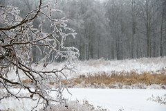 Ice Storm 2013 (mistercgg) Tags: camera city winter ontario canada storm tree ice nature country d70s where waterloo when what northamerica why continent province