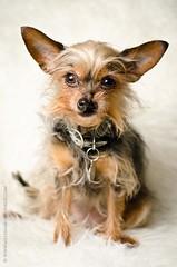 Poppy (MelissaBessMonroe) Tags: dog cute san sandiego adorable diego poppy highquality highqualitydogs
