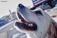 20140126_HilaryDuff (Matteo Biguzzi [bigu77]) Tags: park travel family summer vacation portrait sky italy cloud dog cane goldenretriever canon landscape picnik eos500d