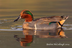 Green-winged Teal (Let there be light (A.J. McCullough)) Tags: birds texas teal southtexas greenwingedteal texasbirds featheryfriday esterollanogrande globalbirdtrekkers